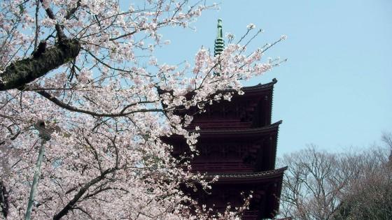 市川市 中山法華経寺 花見 桜