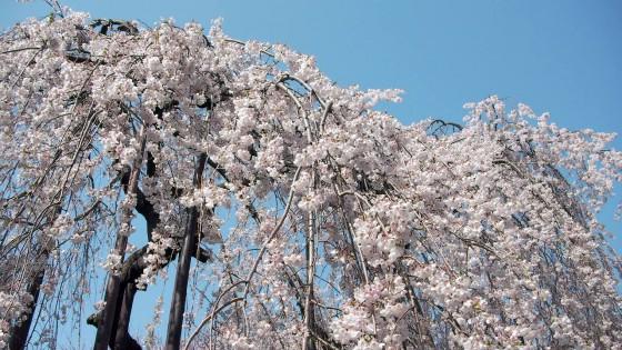 市川市 真間山弘法寺 花見 桜