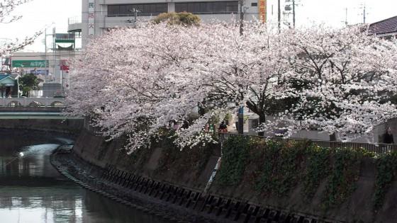 市川市 真間川・市川市消防局 花見 桜