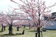 市川市 妙典河津桜 花見 桜