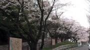市川市 須和田公園 花見 桜