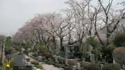 市川市 市川市営霊園 花見 桜