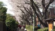 市川市 桜土手 花見 桜