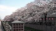 市川市 真間川・昭和学院 花見 桜