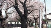 市川市 第三中学校 花見 桜