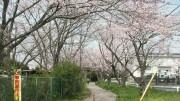 市川市 市川東高等学校 花見 桜