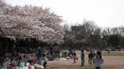 市川市 行徳駅前公園 花見 桜