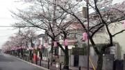 市川市 曽谷小 花見 桜