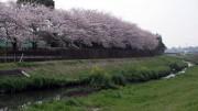 市川市 国分川用水路 花見 桜
