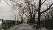 市川市 国府台公園 花見 桜