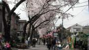 里見公園 桜 花見
