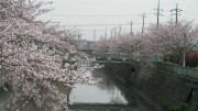 市川市 大柏川 花見 桜