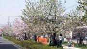 市川市 中江川 花見 桜