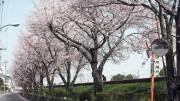 市川市 猫実川 花見 桜