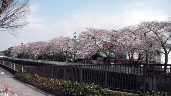 市川市 真間川・真間小学校 花見 桜
