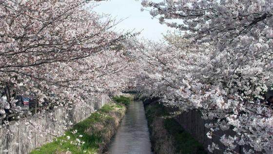 市川市 真間川・旧市川学園 花見 桜